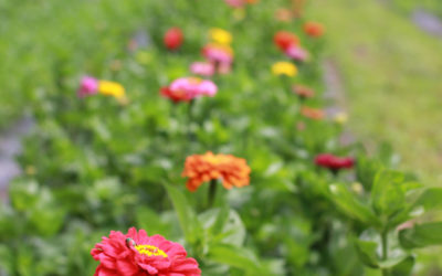 Zinnia—A Summer Favorite